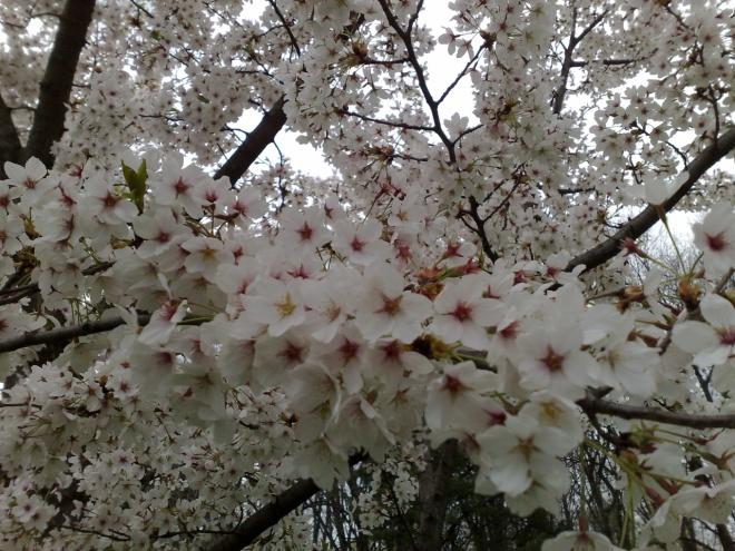 flori albe de cires